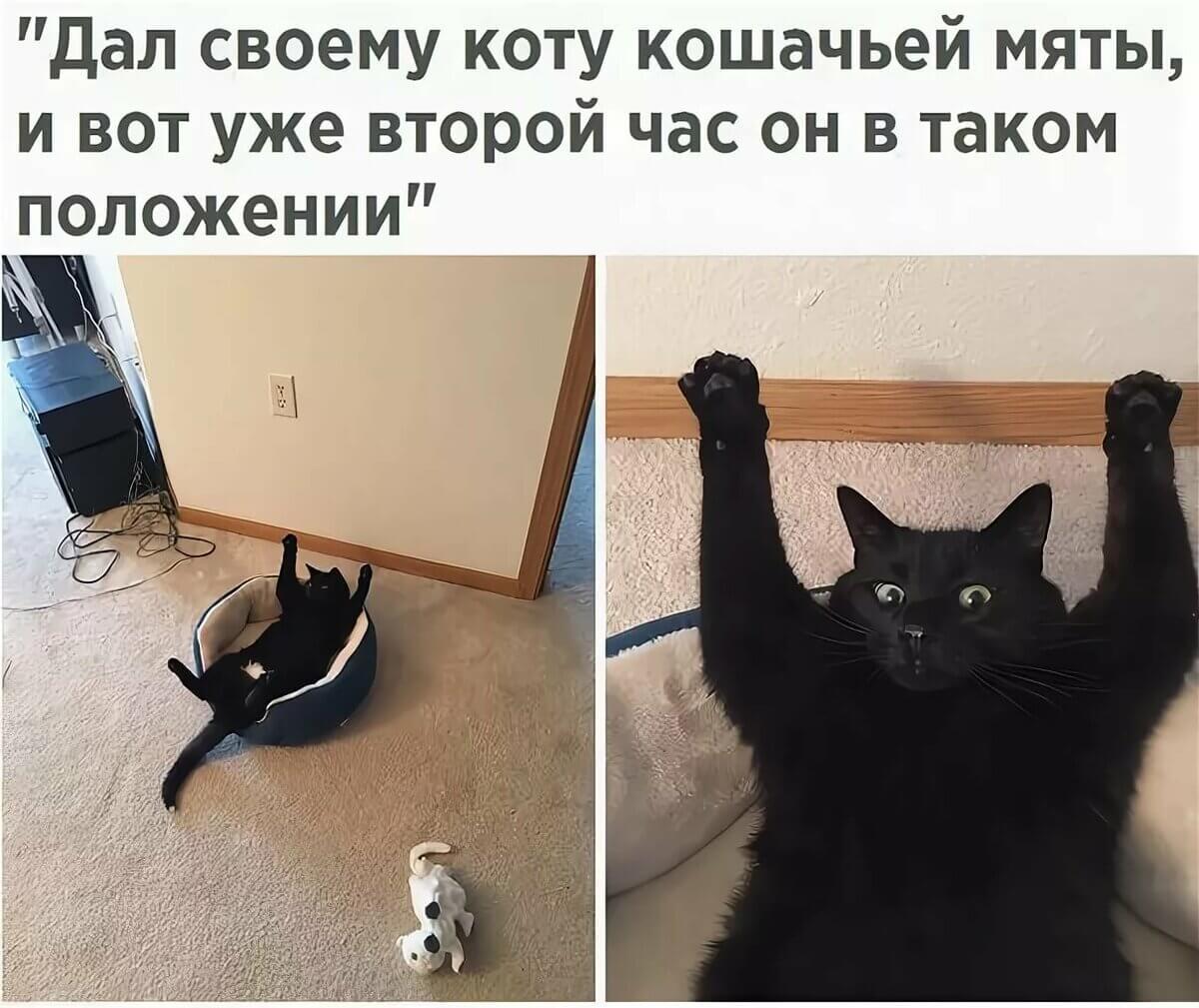 Прикольная картинка Кот и кошачья мята