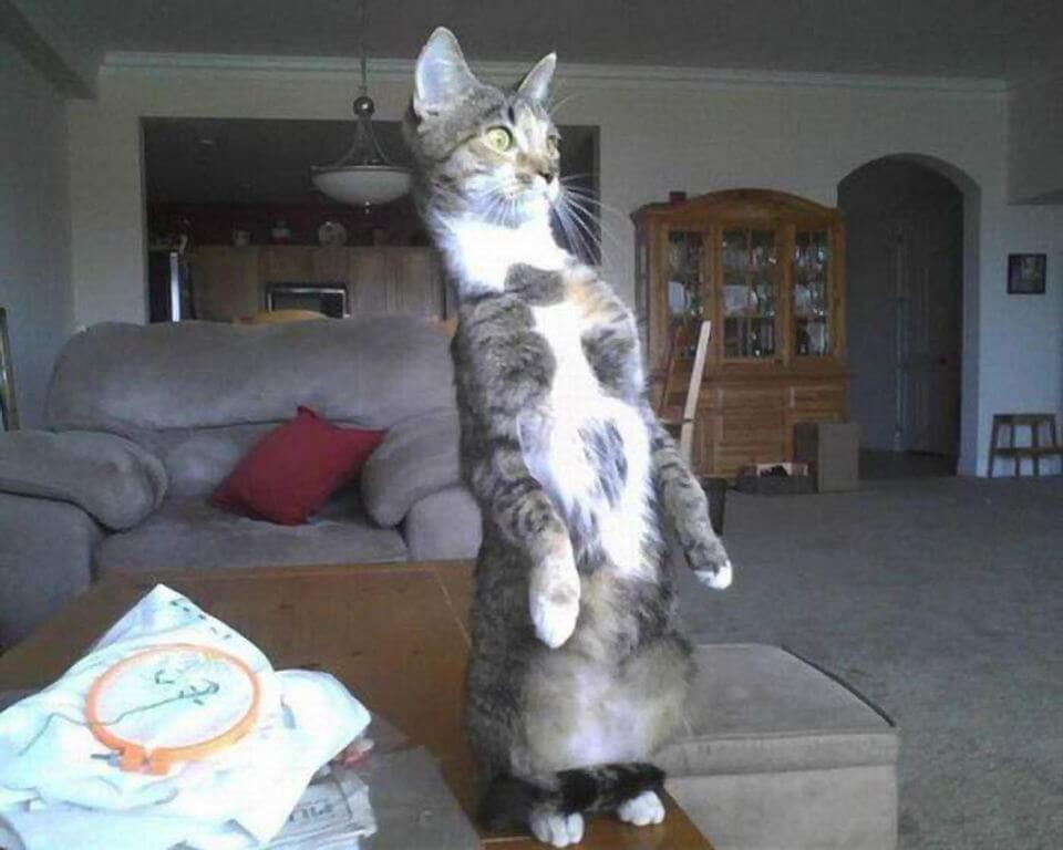 Прикольная картинка Кот стоит на задних лапах