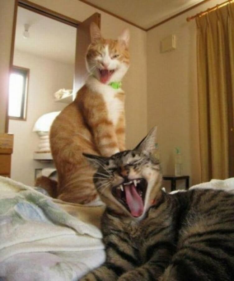 Прикольная картинка Коты зевают